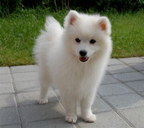 eskimo spitz puppies japanese spitz japanese spitz dogs puppys and dogs