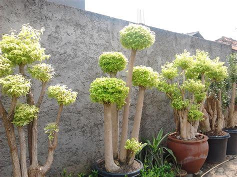vasaflora pohon hias