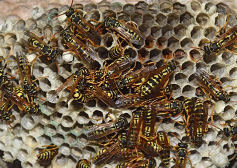 Wespennest Vermieter hilfe beim wespennest im haus oder garten 183 ratgeber haus