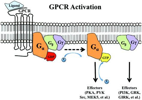 g protein coupled receptors function g protein coupled receptor kinases as therapeutic targets