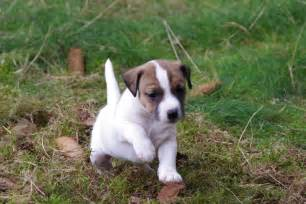 parson russell terrier puppies pictures information temperament characteristics animals