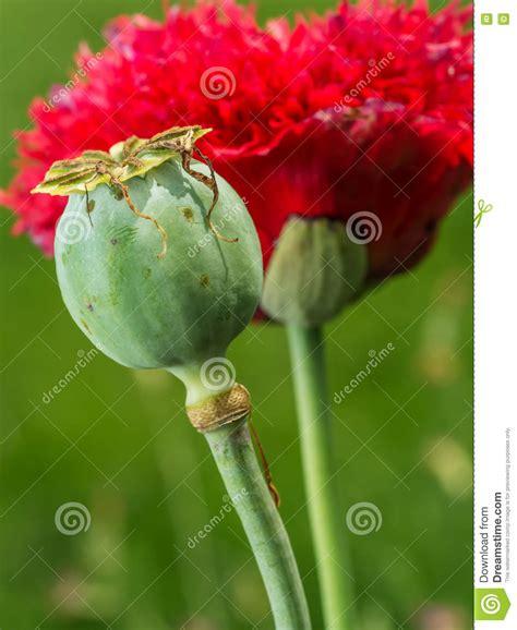 fiore oppio fiore papavero da oppio immagine stock immagine