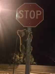 lost koala stops traffic  climbing  stop sign mistaken