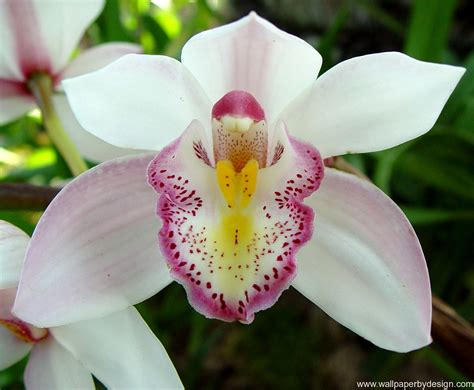 immagini fiori orchidee orchid flower wallpaper flower wallpapers imgstocks