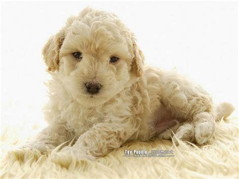 miniature poodle puppies dogs pets lovable poodle puppies