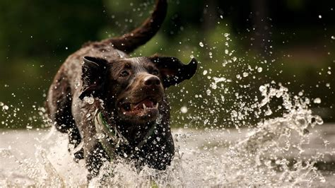 puppies in water in water dogs wallpaper