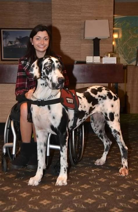 great dane service service dogs great danes and photos on