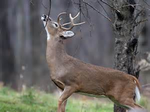 buck pics the whitetail calling card from the field