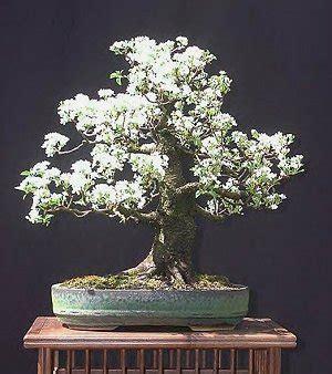 a cherry tree bonsai hollow creek bonsai cherry bonsai