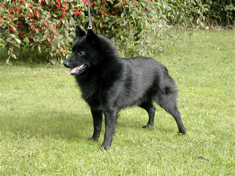 schipperke puppies schipperke dogs breeds pets