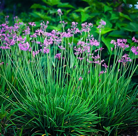 tulbaghia society garlic   plants garden