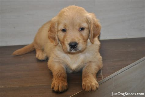 golden retriever facts and info golden retriever breed information breeds picture