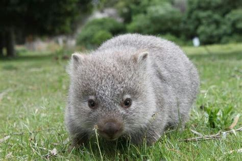 Be Gentle With Me Wombat My Blogtalkradio by 1000 Images About Wombats On O Brian