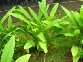 file turmeric plant jpg