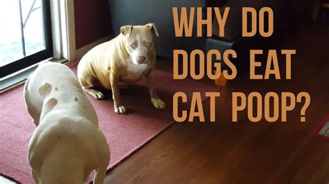 why do dogs pitbulls eat cat poo youtube