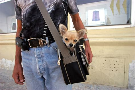puppy in a purse small in a small bag bj 246 rn steinz