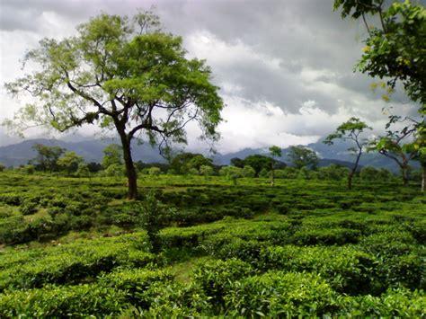 Tea Garden by File Tea Garden In Dooars Jpg Wikimedia Commons