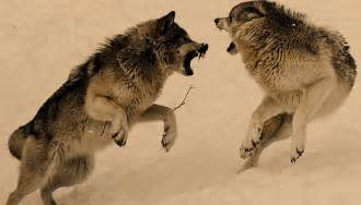 Wolves fighting for pinterest