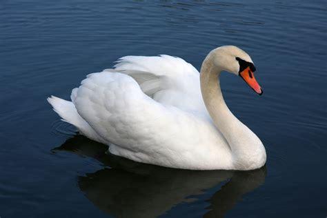 Swan L fonds d 233 cran cygne maximumwallhd