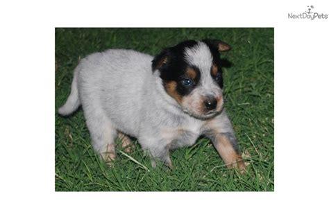 puppies for sale midland tx australian cattle blue heeler puppy for sale near odessa midland