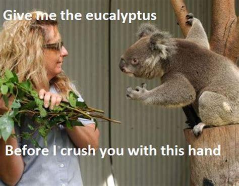 Angry Koala Meme - funny koala bear pictures 12