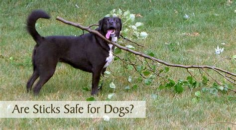 are safe for dogs are sticks safe for dogs chasing tales