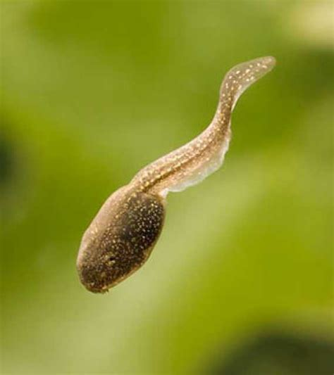 images of tadpoles tadpole concept bomb
