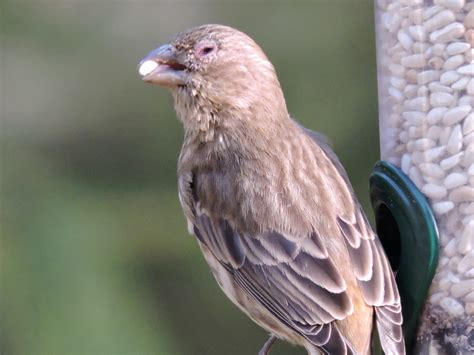 house finch female female house finch with eye disease feederwatch