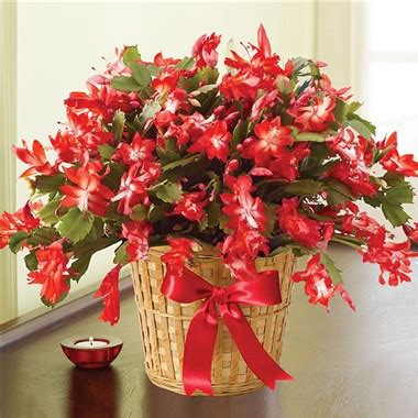 1 800 flowers 174 6 quot christmas cactus in basket miss daisy