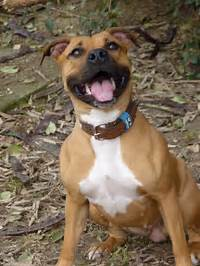 American Staffordshire Terrier  Wikipedia