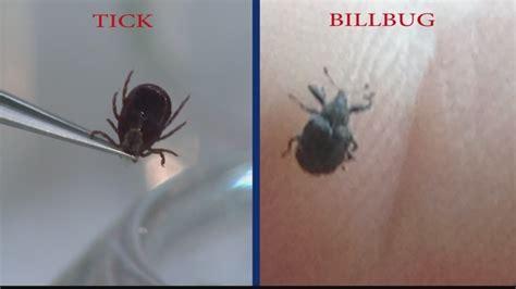 imposter bug mistaken for ticks