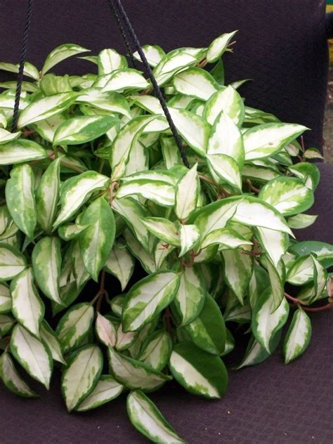 variegated hoya carnosa rubra succulent vine house plant ebay