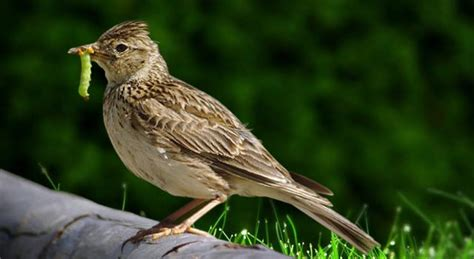 skylark facts bird pictures idenfication and information