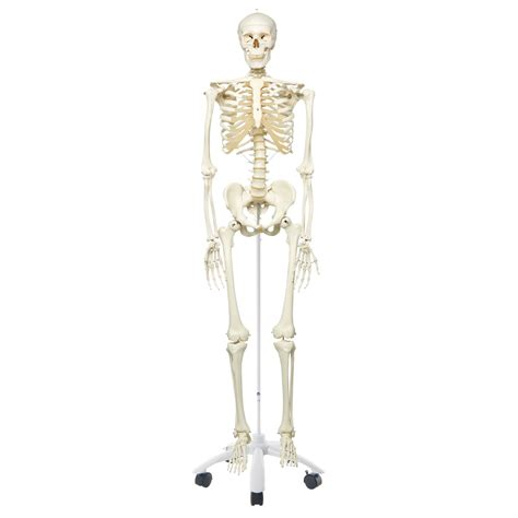 a skeleton human skeleton model stan on pelvic mounted 5 foot