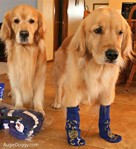golden retriever socks why dogs shouldn t wear socks golden retriever the o jays