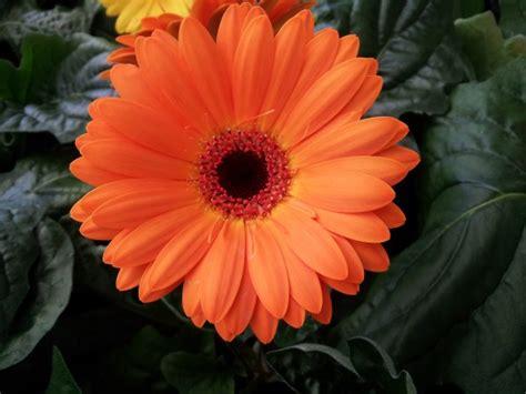 fiore gerbera gerbera coltivazione e cure