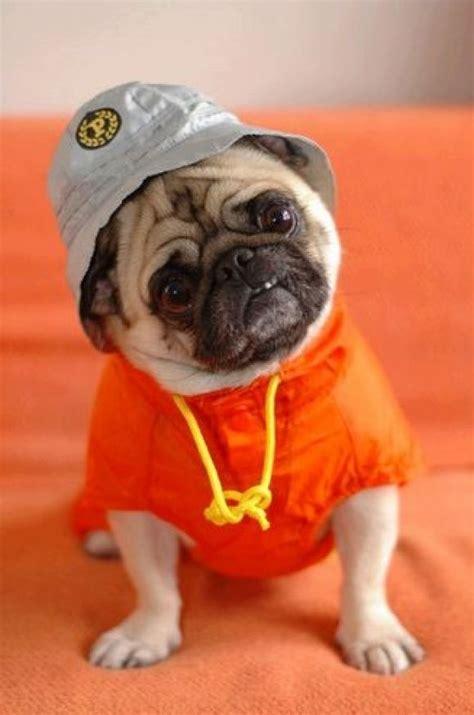 cool pug ll cool pug animals