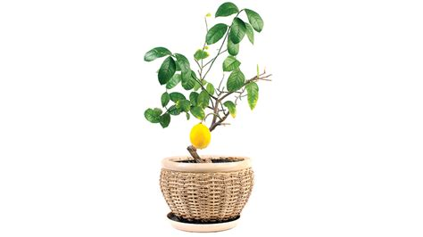 94 fruit that doesn t grow on trees grow a fruit tree even in a small space vegetarian times