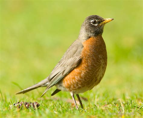 female american robin thrush ecard from cortes island bc