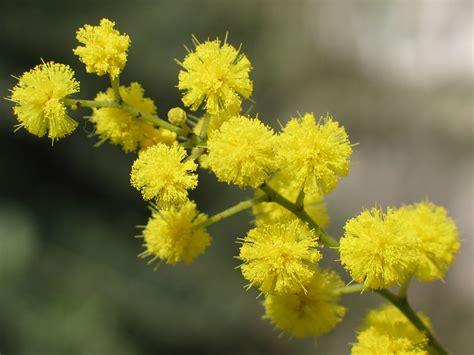 immagine di mimosa fiore festa della donna tanti auguri a tutte le donne da