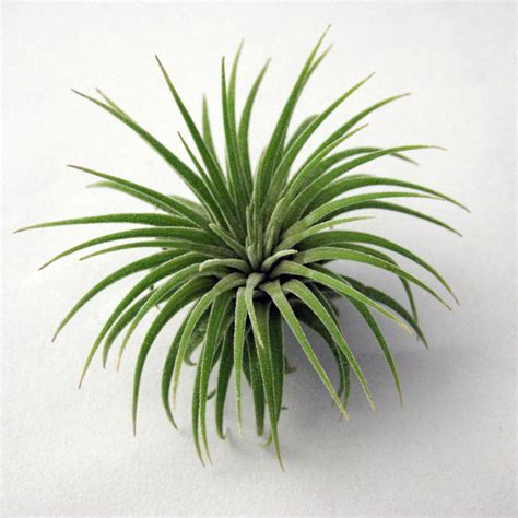 air plants single ionantha air plant small to medium