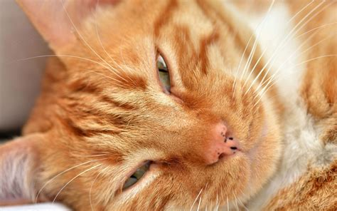 wallpaper cat orange sleepy orange cat wallpaper 31907