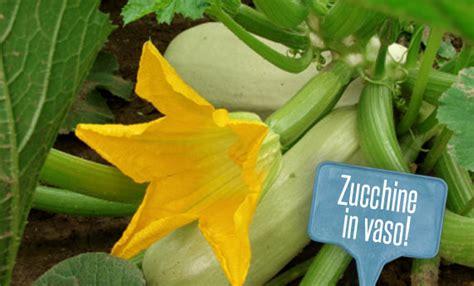 coltivare le zucchine in vaso bio biella