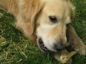 doodle rescue mini goldendoodle rescue colorado breeds picture