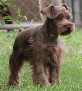 liver colored liver colored miniature schnauzer schnauzers