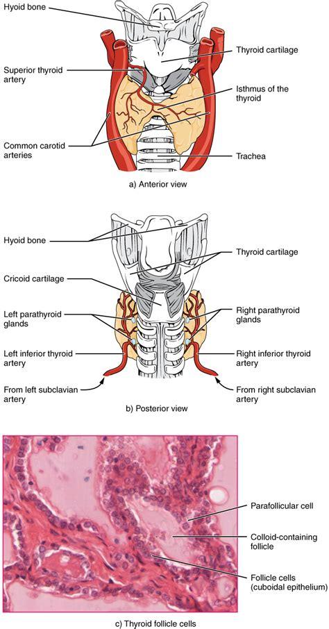diagram of thyroid gland the thyroid gland textbook chapter alyvea