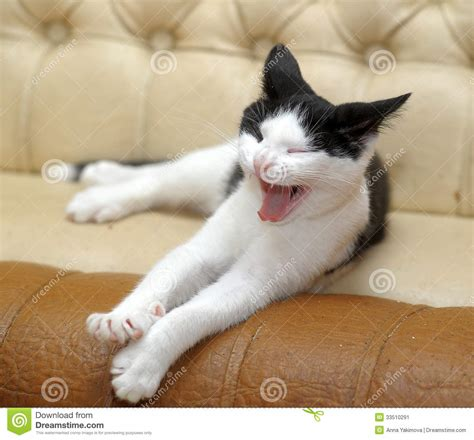 and cat black and white cat yawning stock image image 33510291