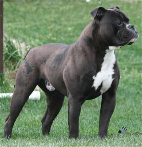 american bulldog colors american bulldogs de sagarmatha american bulldog color