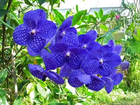 gambar bunga anggrek warna biru