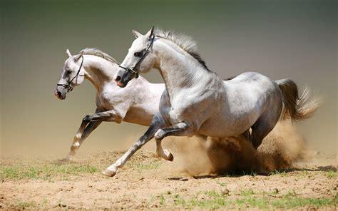 wallpaper for desktop running horse white horses running fast wallpaper hd animals wallpapers